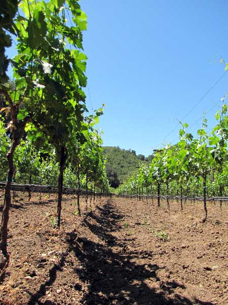 Vineyard in Napa County.